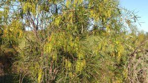 Acacia acuminata host trees in seed