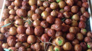 sandalwood nut harvest